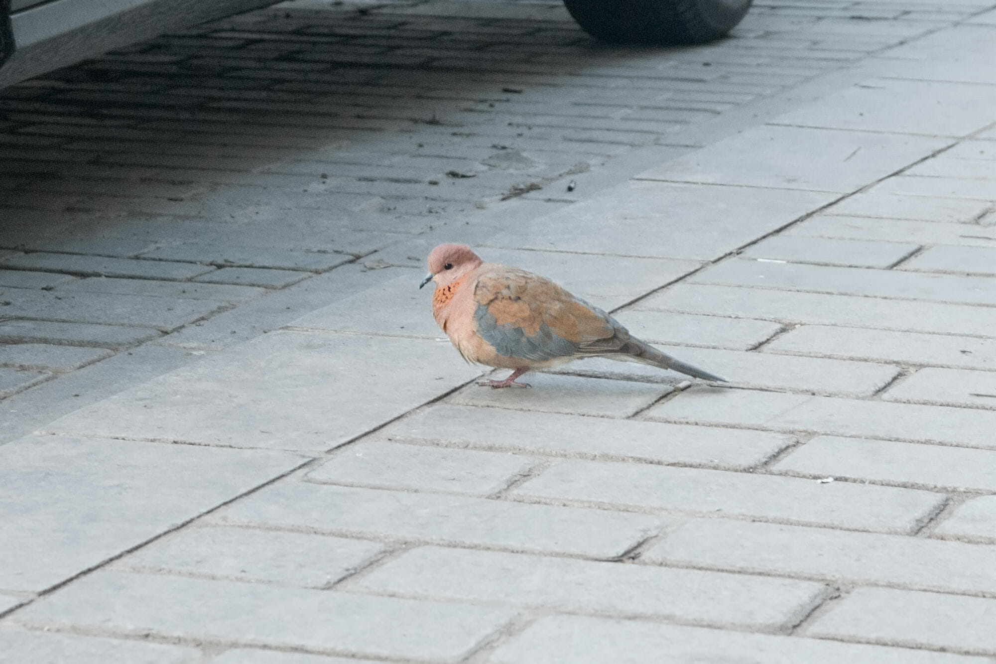 Laughing dove in Istanbul