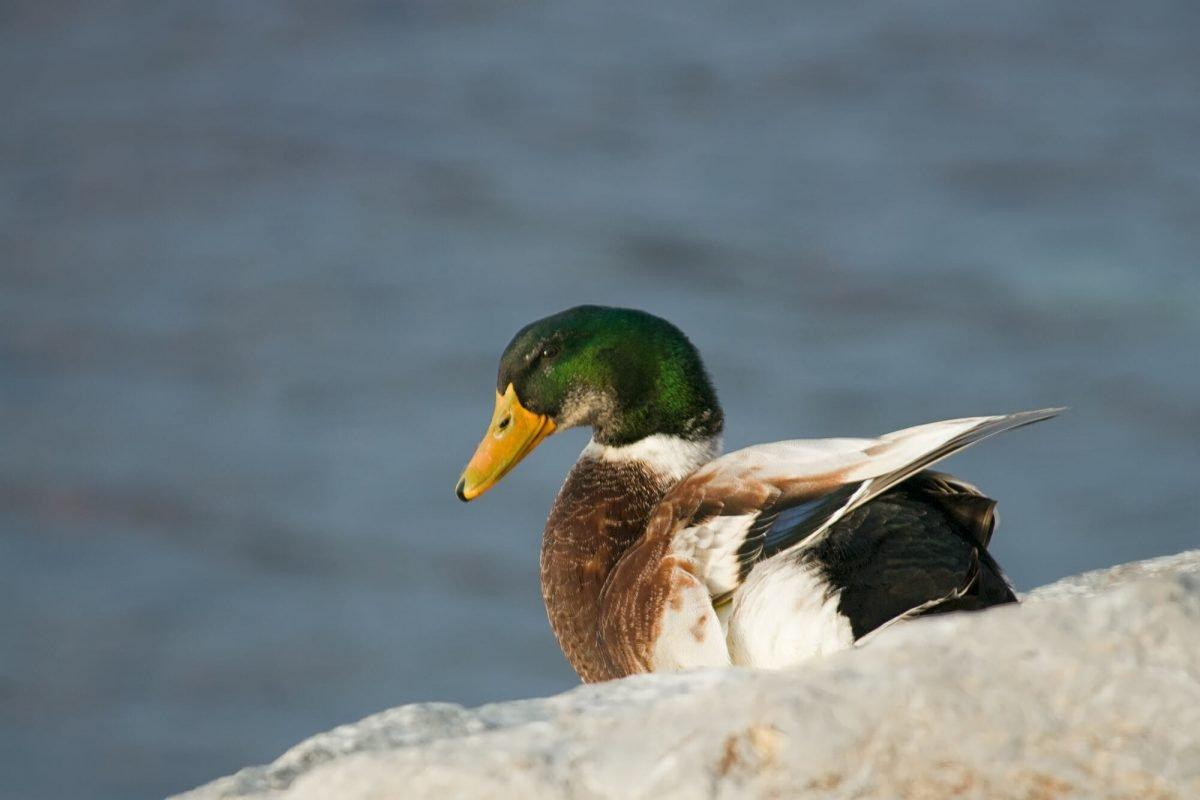 Mallard's duck in Istanbul