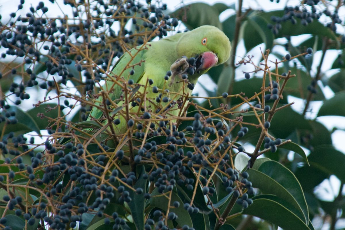 Ringnecked parakeet in Istanbul