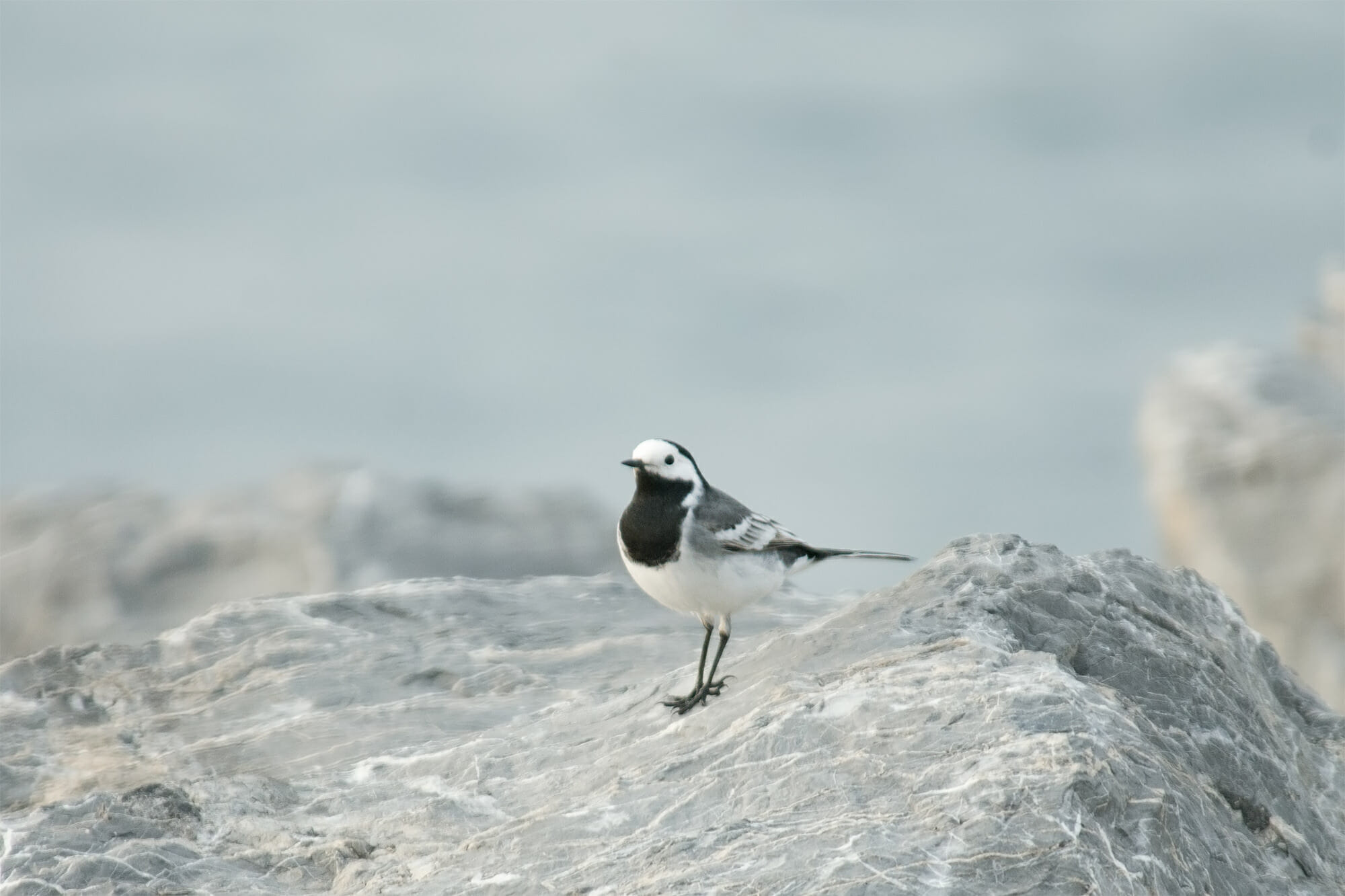 White wagtail in Istanbul
