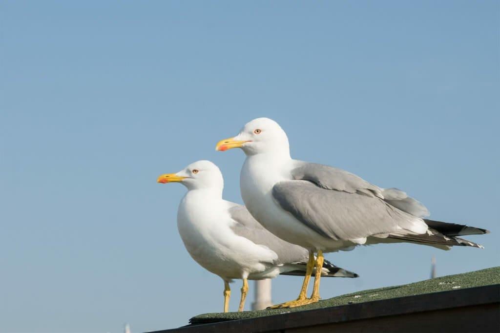 Birds of Istanbul - Yellow-legged gull
