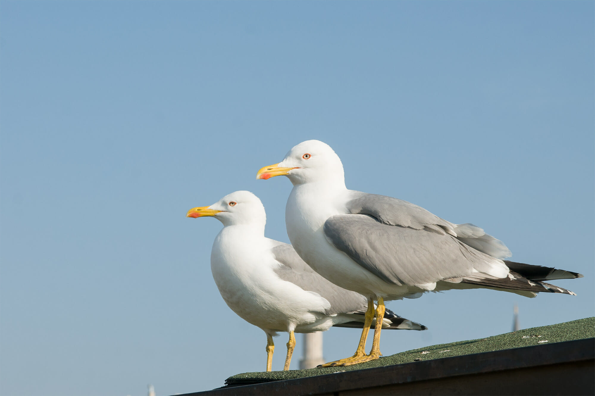 Birds of Istanbul - Yellow-legged gull