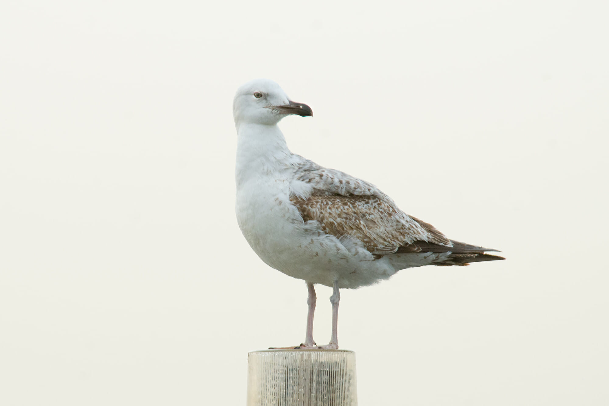 Juvenile Yellow-footed gull in Istanbul