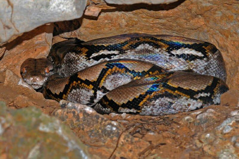 reticulated python, Khao Yai