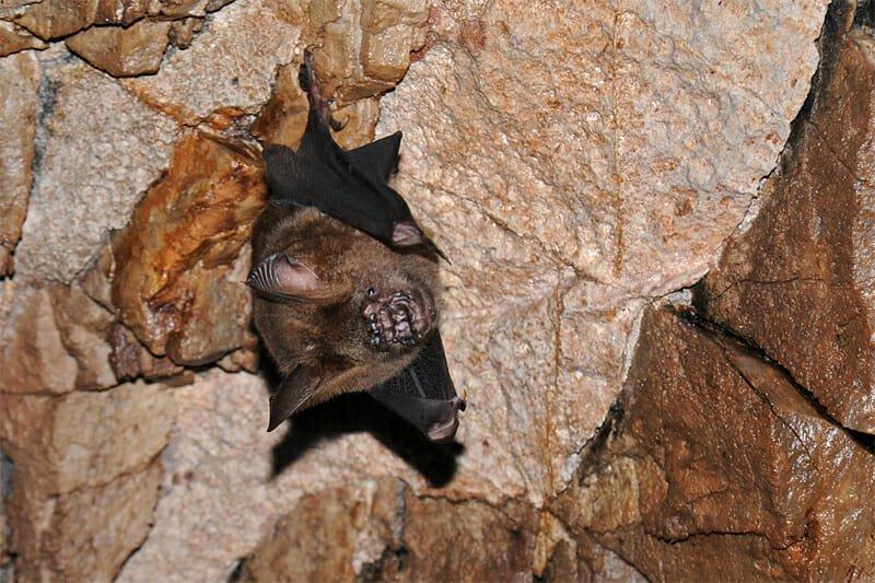 roundleaf bat, Khao Yai