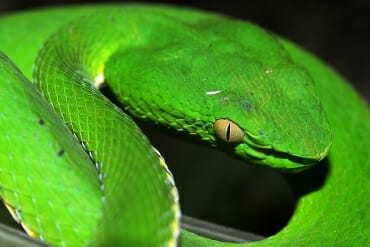 Thailand wildlife in Khao Yai National Park - white-lipped viper