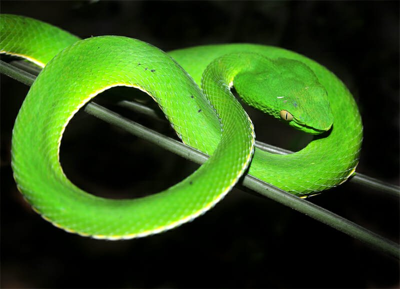 White-lipped viper, curled up in Khao Yai