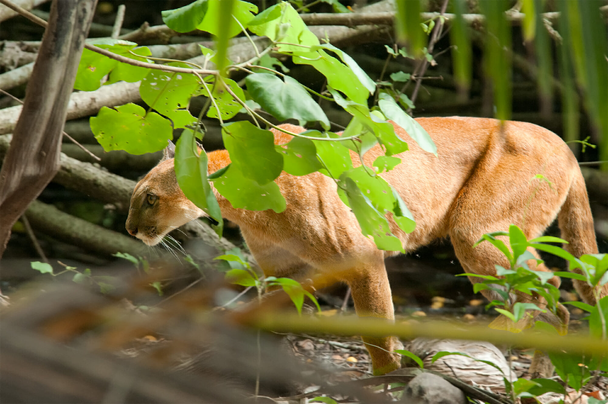 Wild Puma in Corcovado National Park
