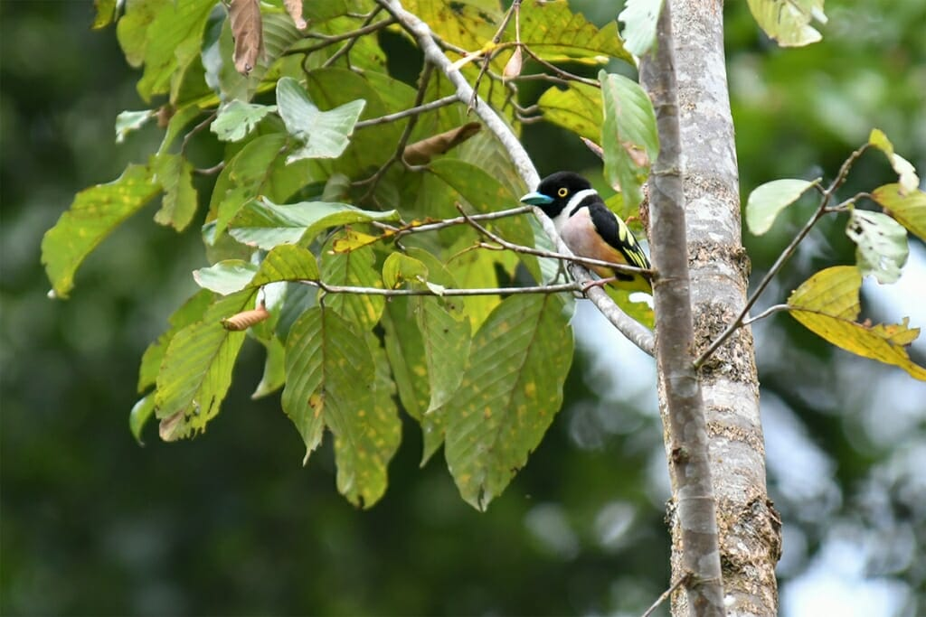 Black and red broadbill in Deramakot