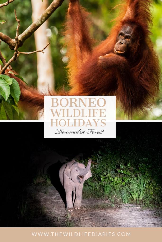 Borneo Wildlife Holidays in Deramakot Forest Reserve
