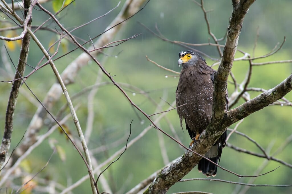 Crested serpent eagle in Deramakot Forest Reserve