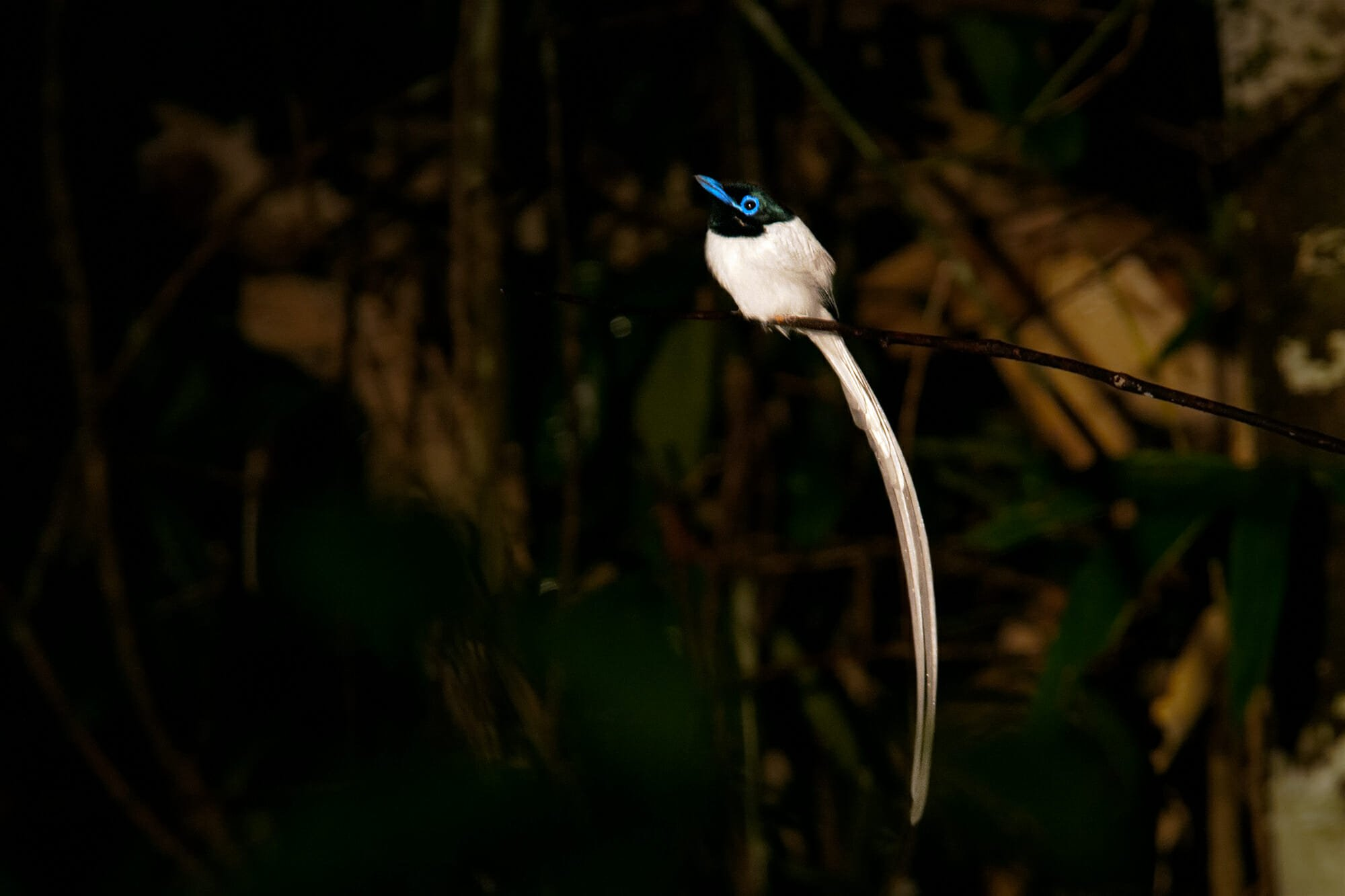 Asian paradise flycatcher at night at Danum Valley, Borneo
