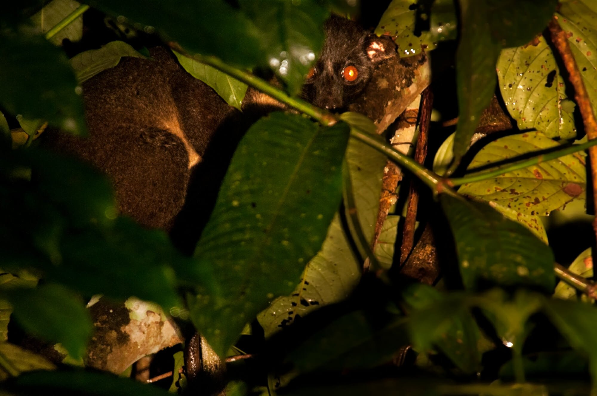 Wildlife watching in Danum Vally - Three-striped civet