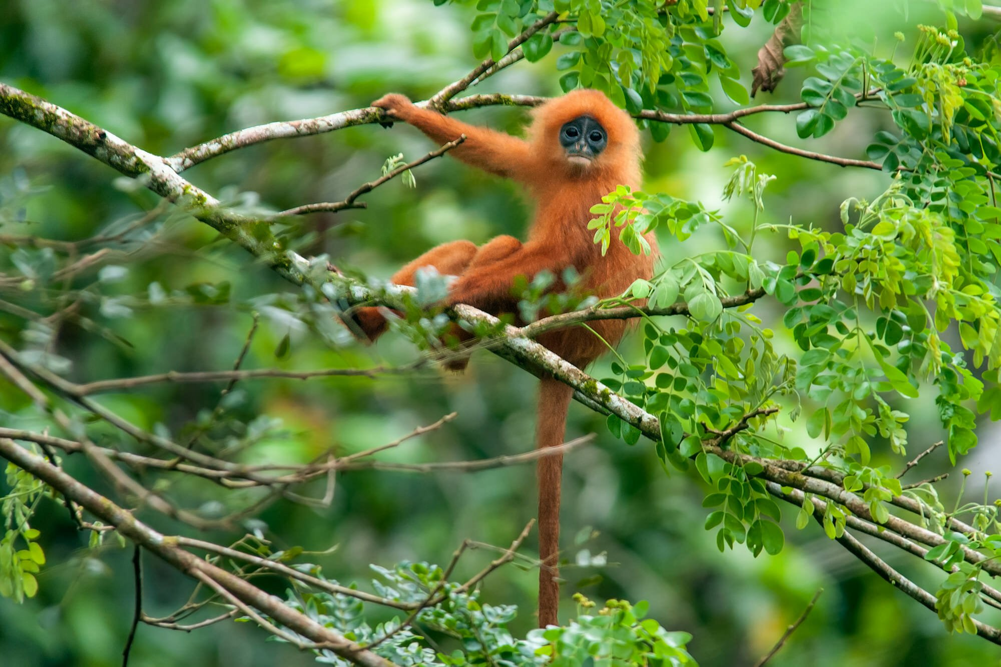 Wildlife watching in Danum Vally - young Maroon langur