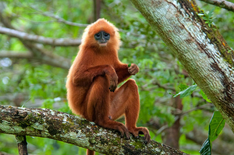 Best places to see wildlife in Borneo - Maroon langur in Danum Valley