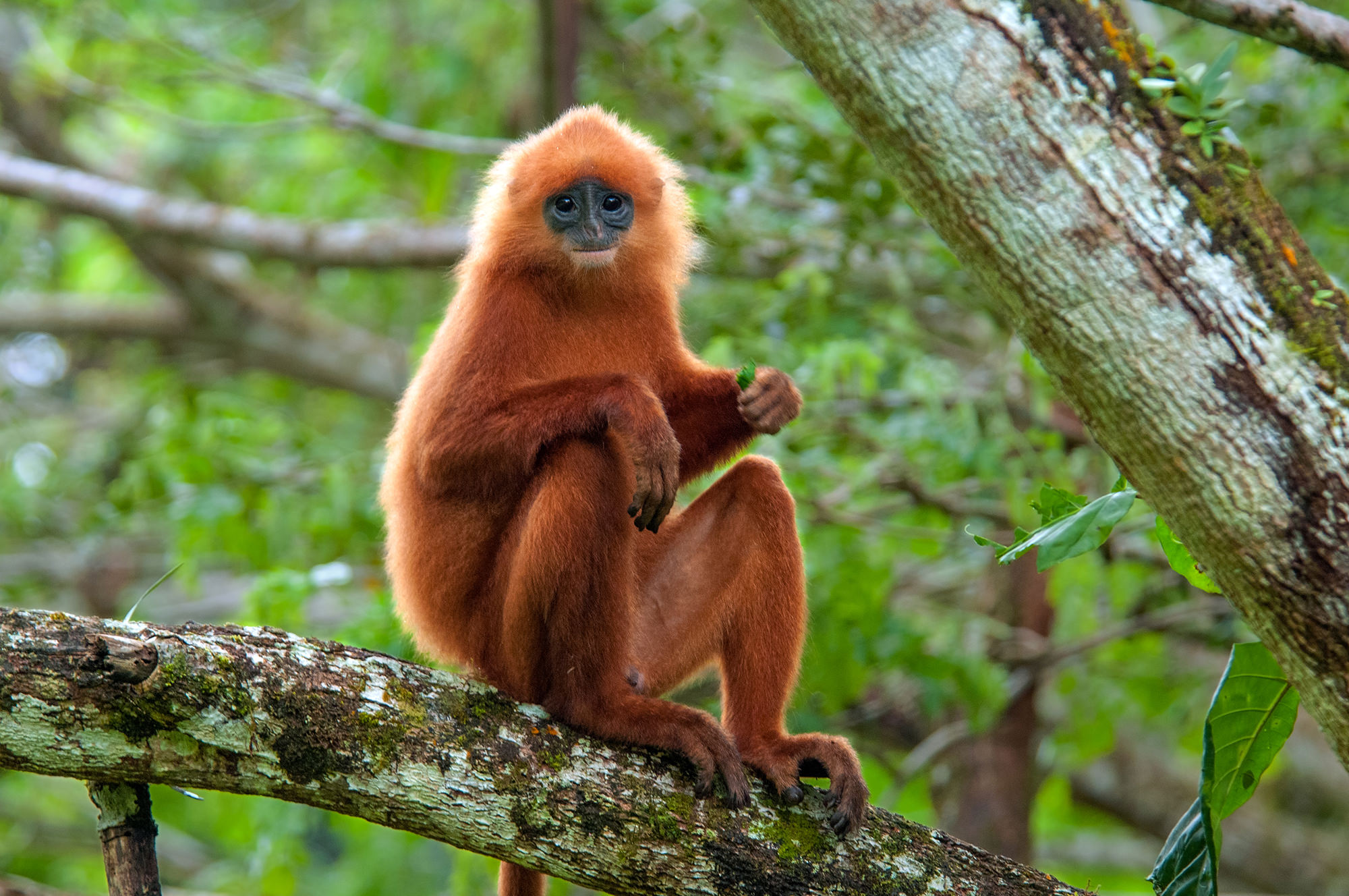 Maroon langur at Danum Valley, Borneo
