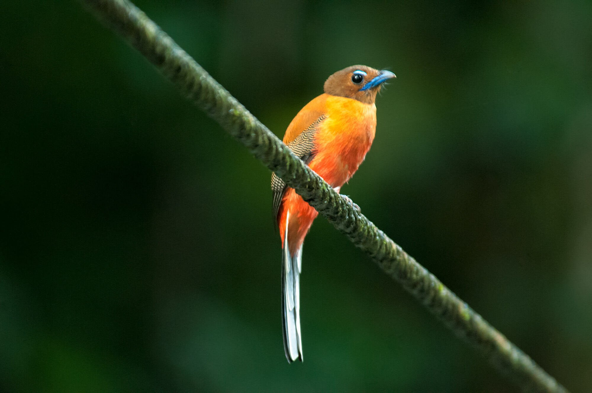 Wildlife watching in Danum Vally - scarlet-rumped trogon