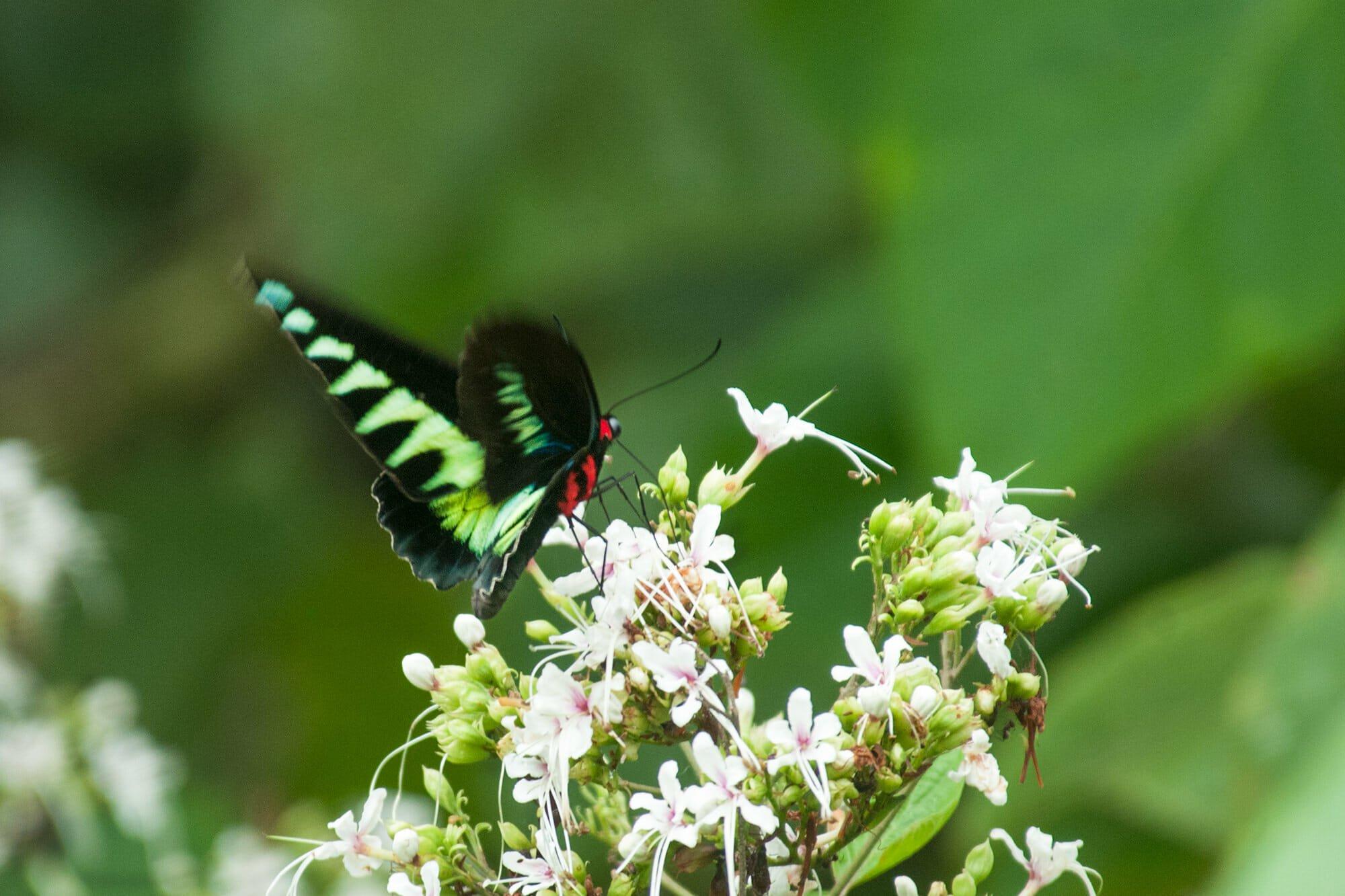 Wildlife watching in Danum Vally - butterfly