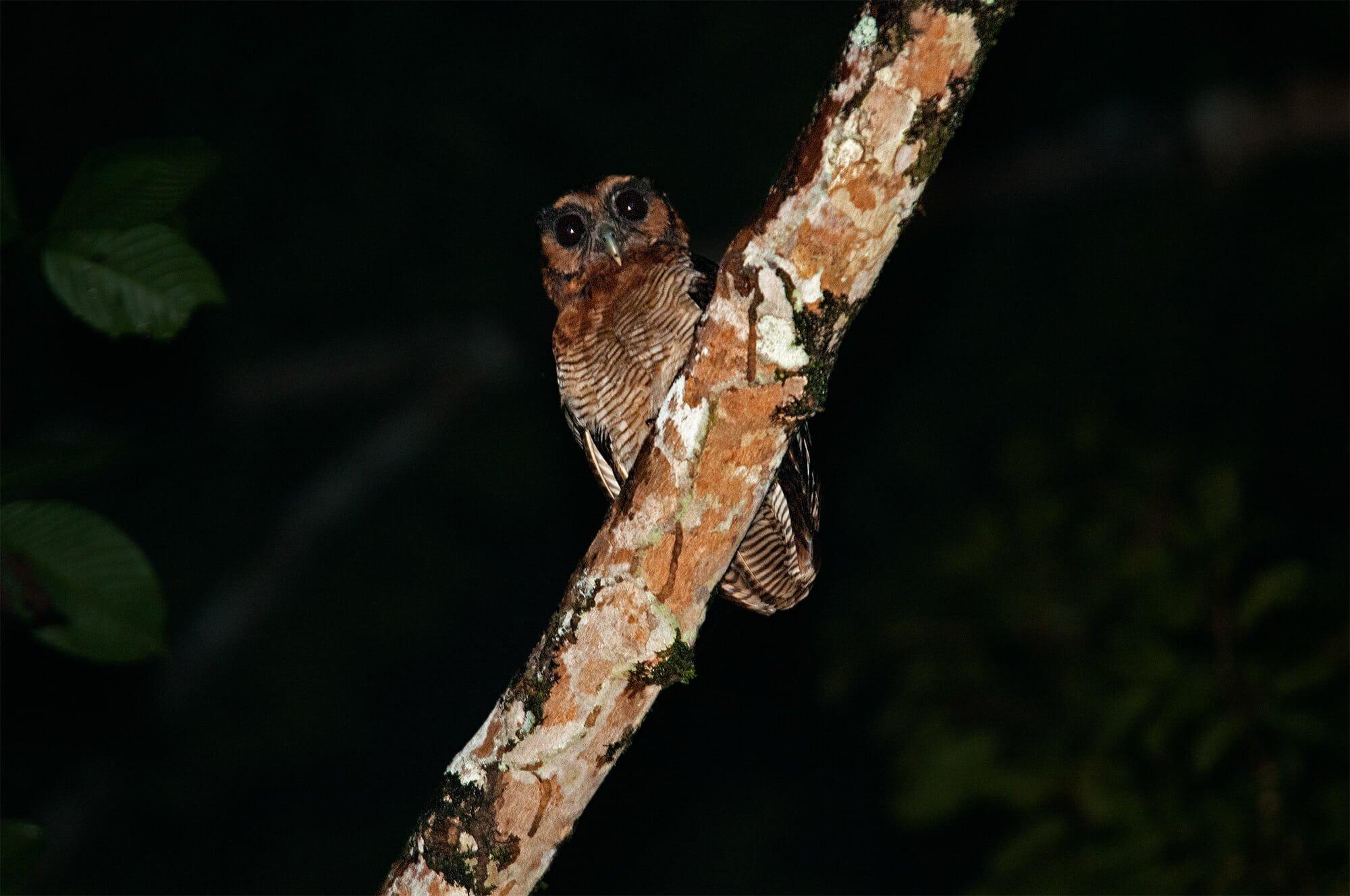 Wildlife watching in Danum Vally - brown wood owl