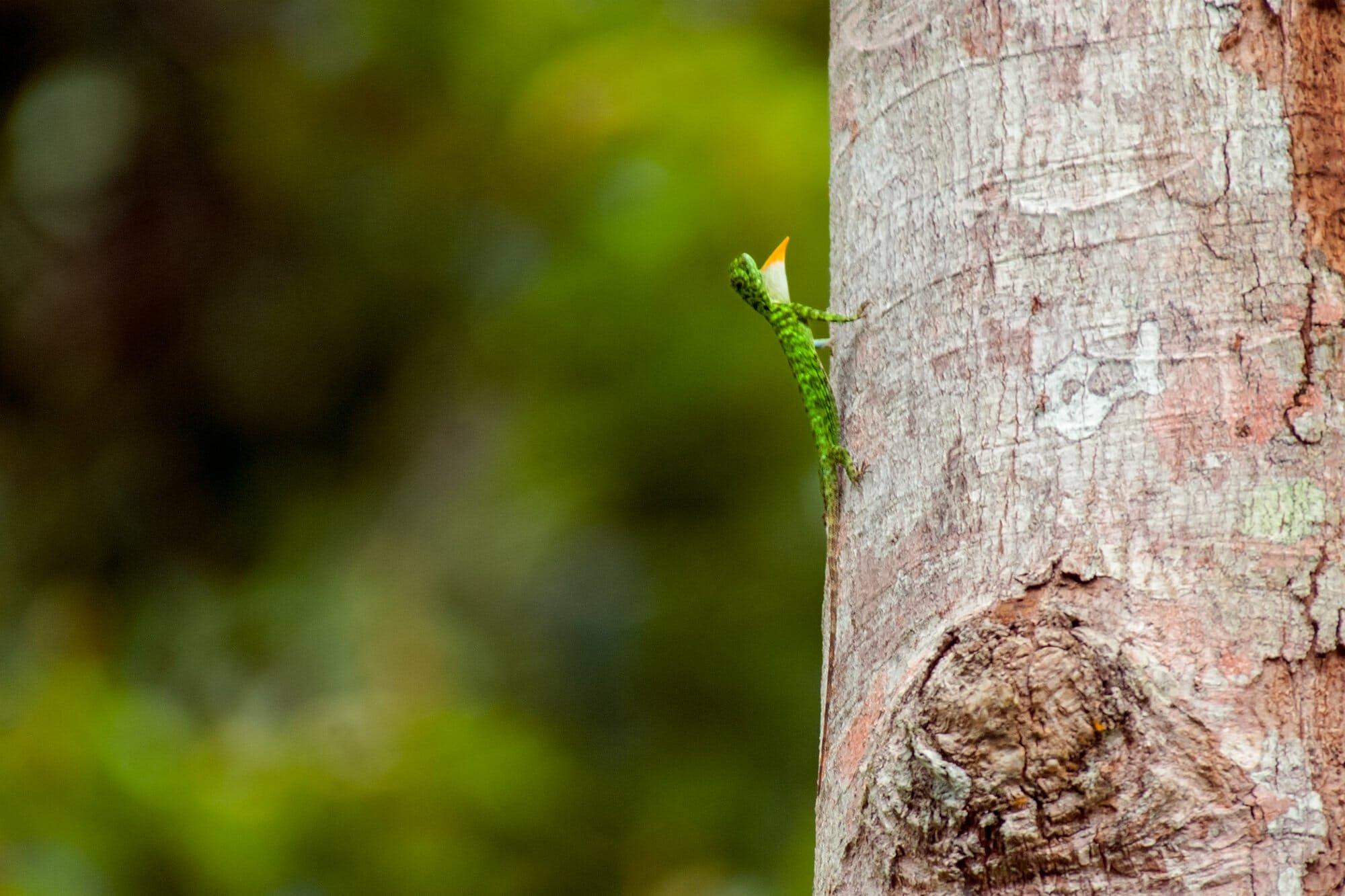 Wildlife watching in Danum Vally - flying lizard