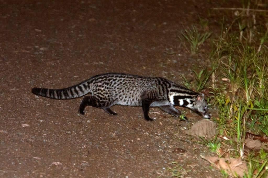 Malay civet running across the road