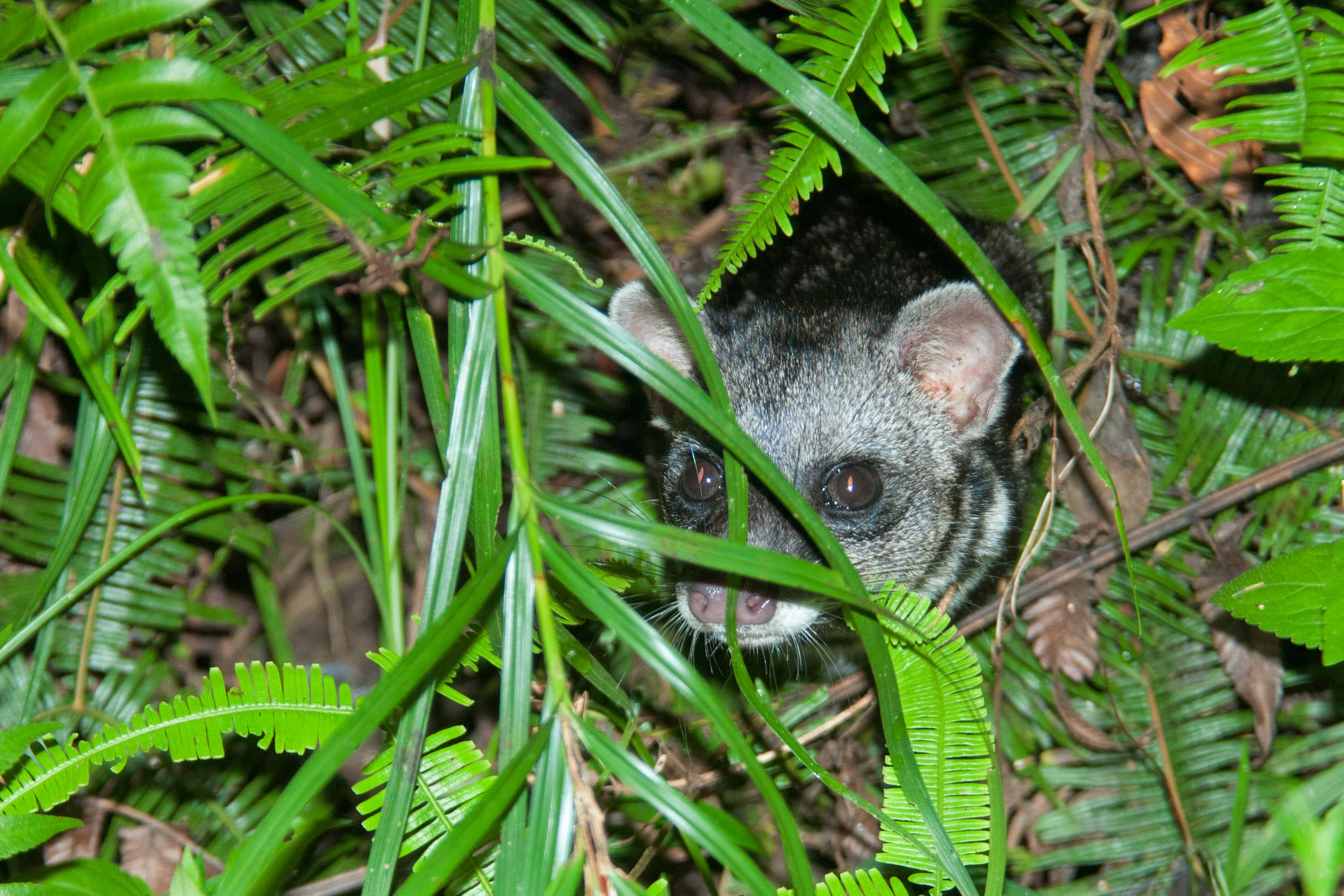 Wildlife watching in Danum Vally - Malay civet face
