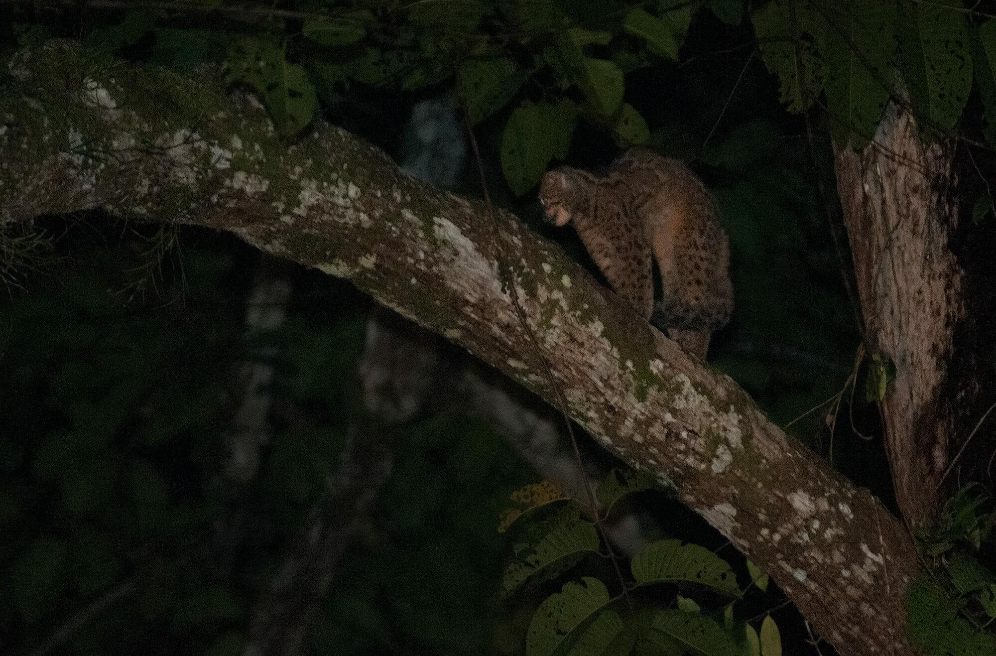 Marbled cat in Deramakot Forest Reserve, Borneo
