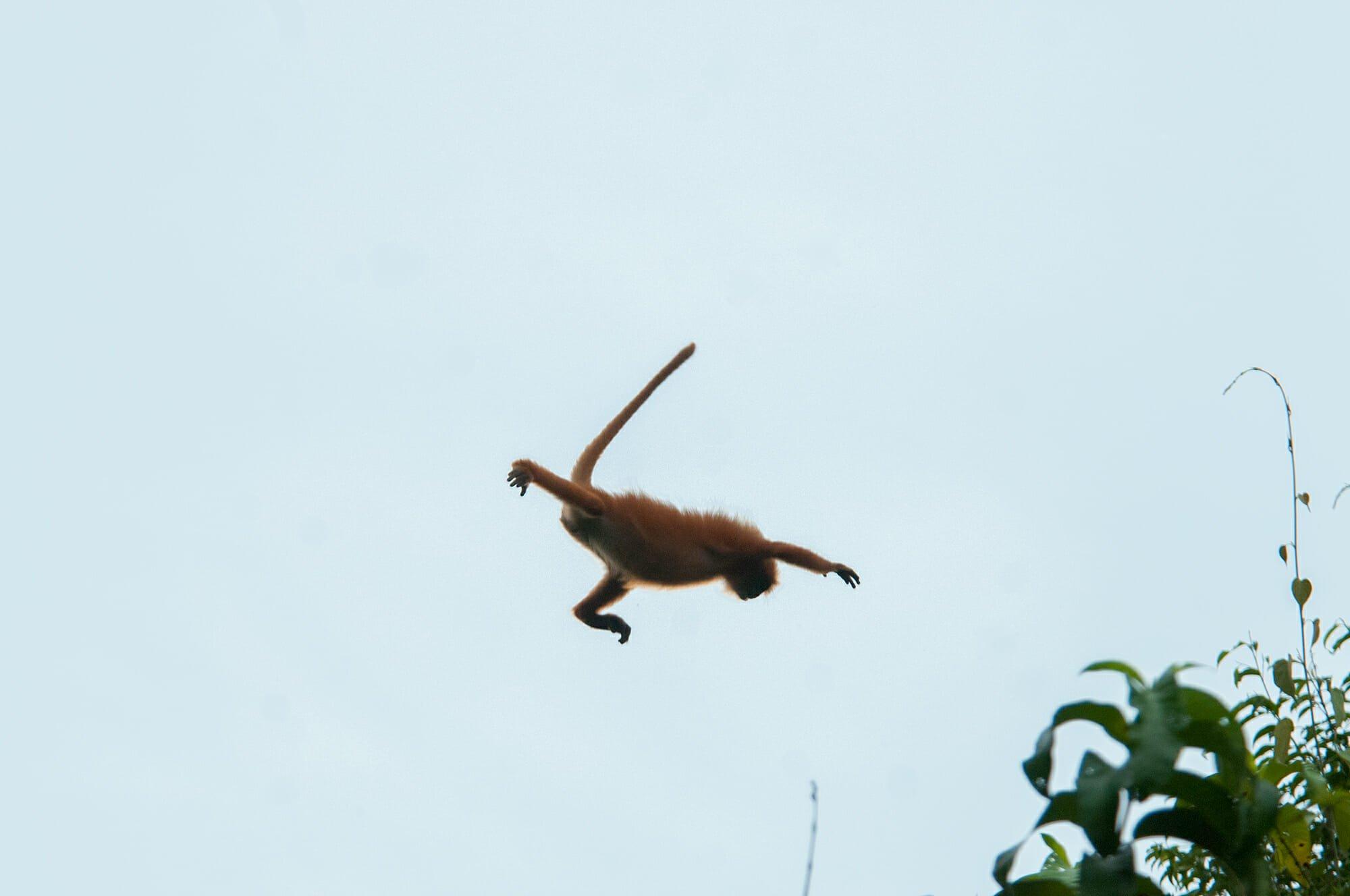 Wildlife watching in Danum Vally - flying langur