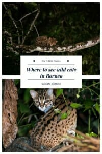Where to see wild cats in Borneo #wildcats #borneowildlife #wildlifetravel.jpg
