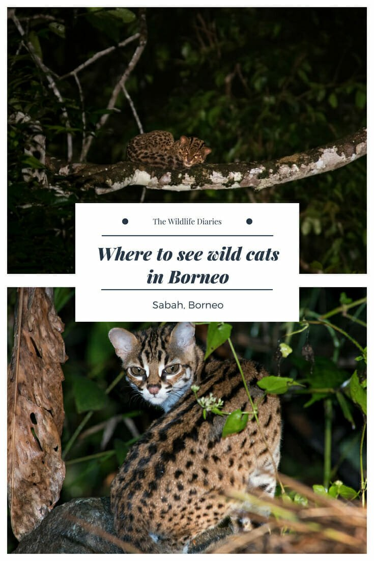Where to see wild cats in Borneo #wildcats #borneowildlife #wildlifetravel