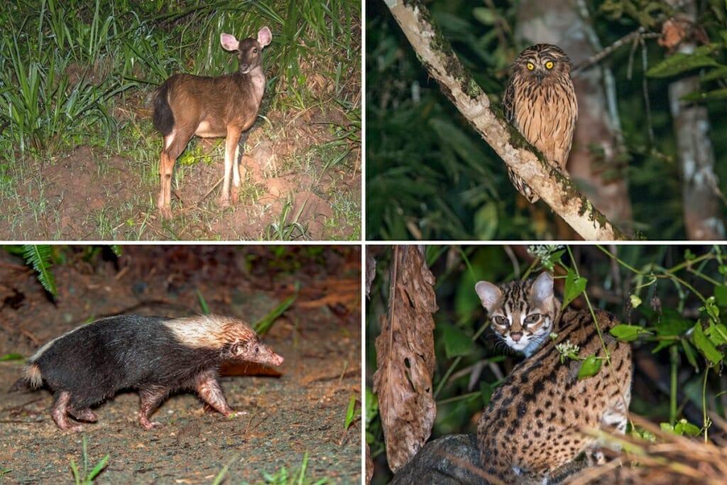 Deramakot Forest Reserve wildlife