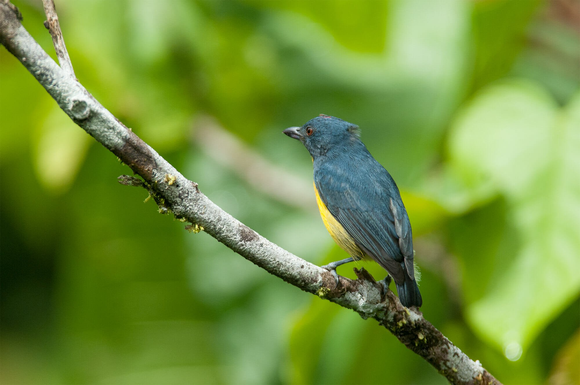 Wildlife watching in Danum Vally - flowerpecker