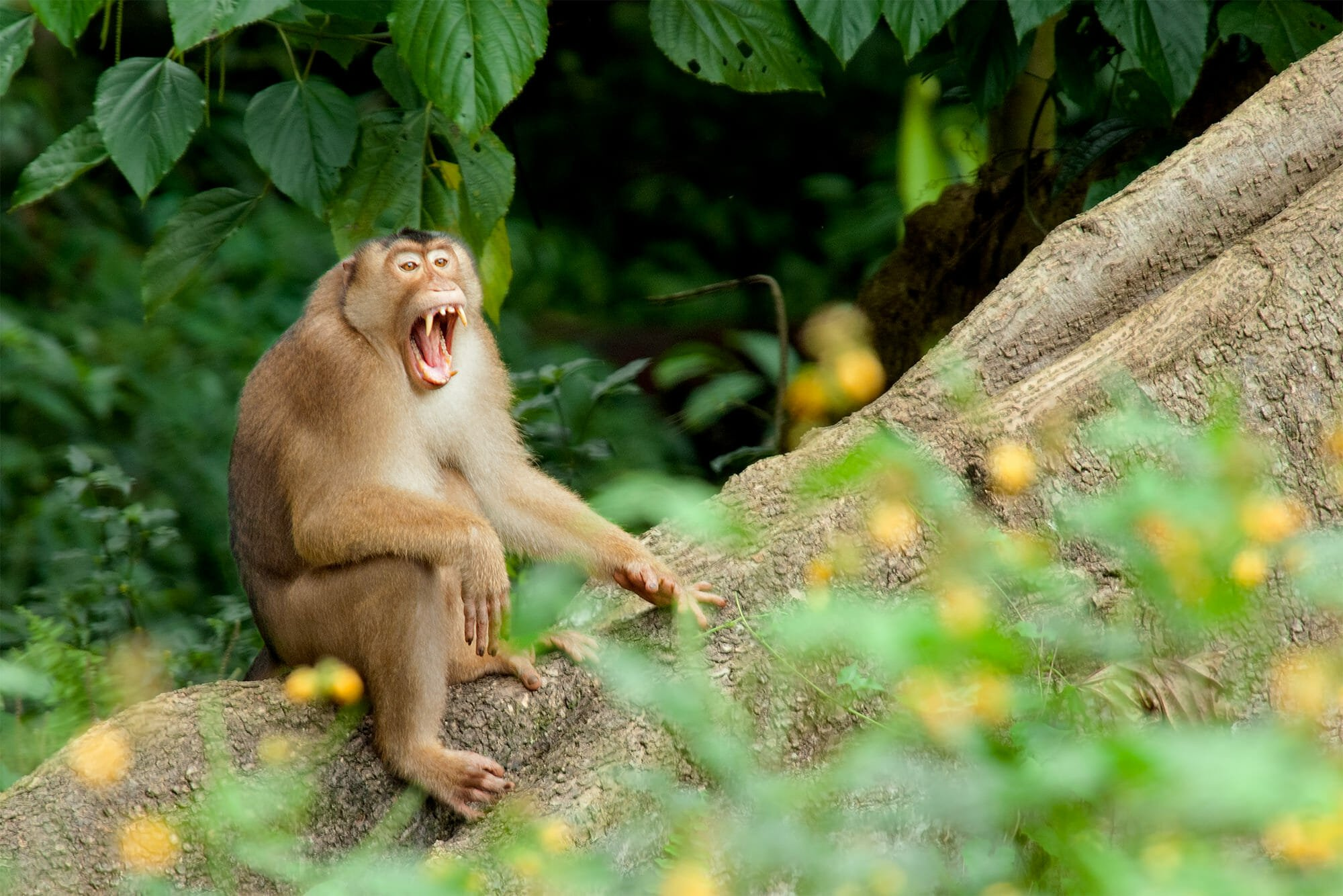 Wildlife of Kinabatangan river - Adult male Pig-tailed macaque