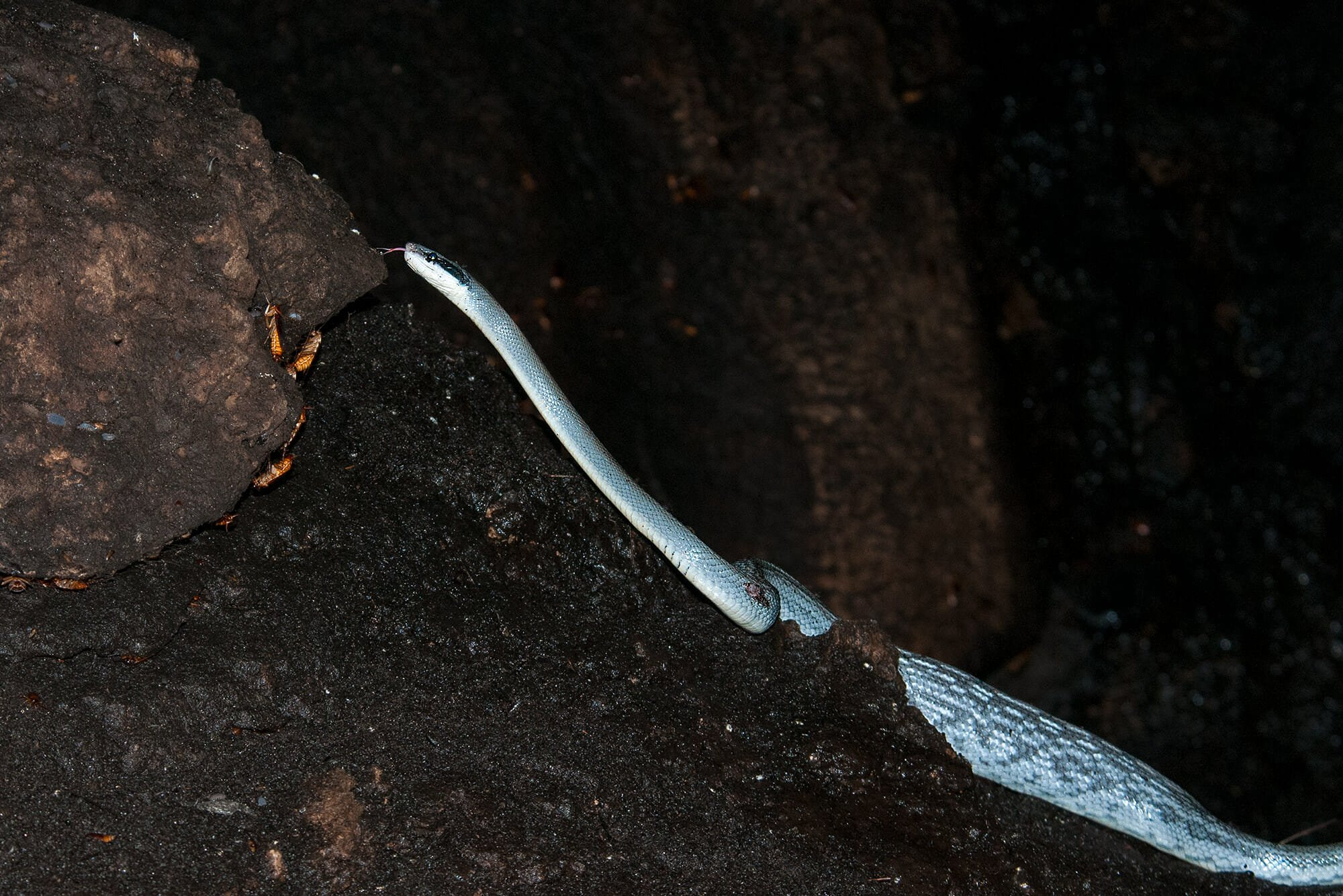 Cave Racer in Gomantong Cave in Borneo