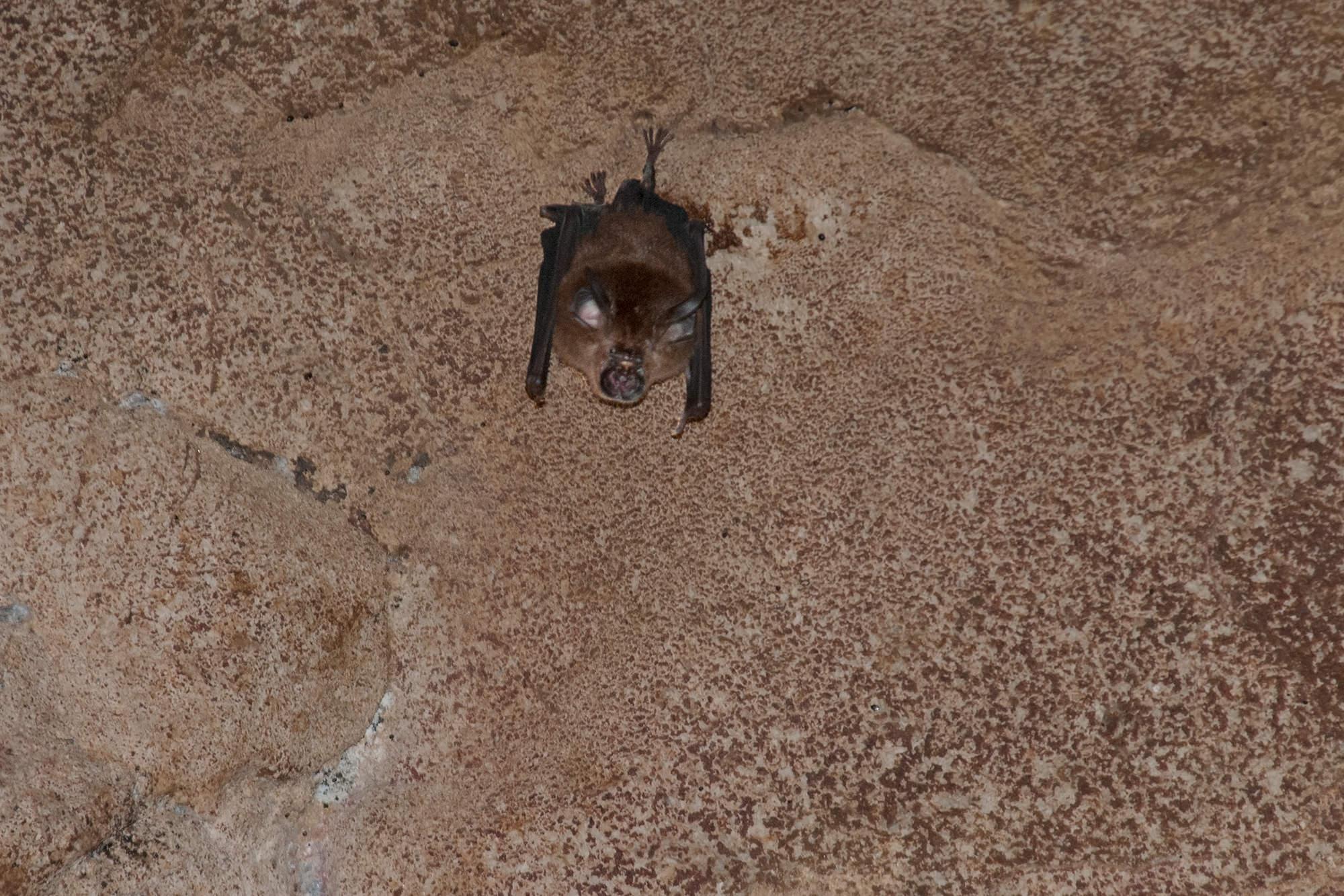 Horseshoe bat in Gomantong Cave in Borneo