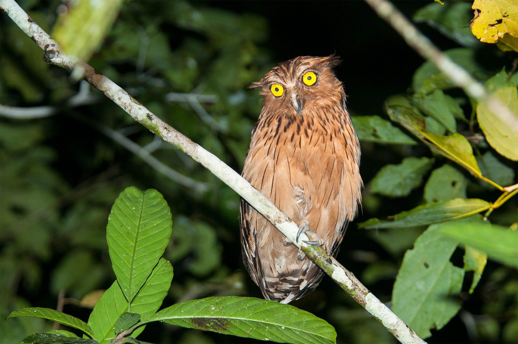 Buffy fish owl, Kinabatangan