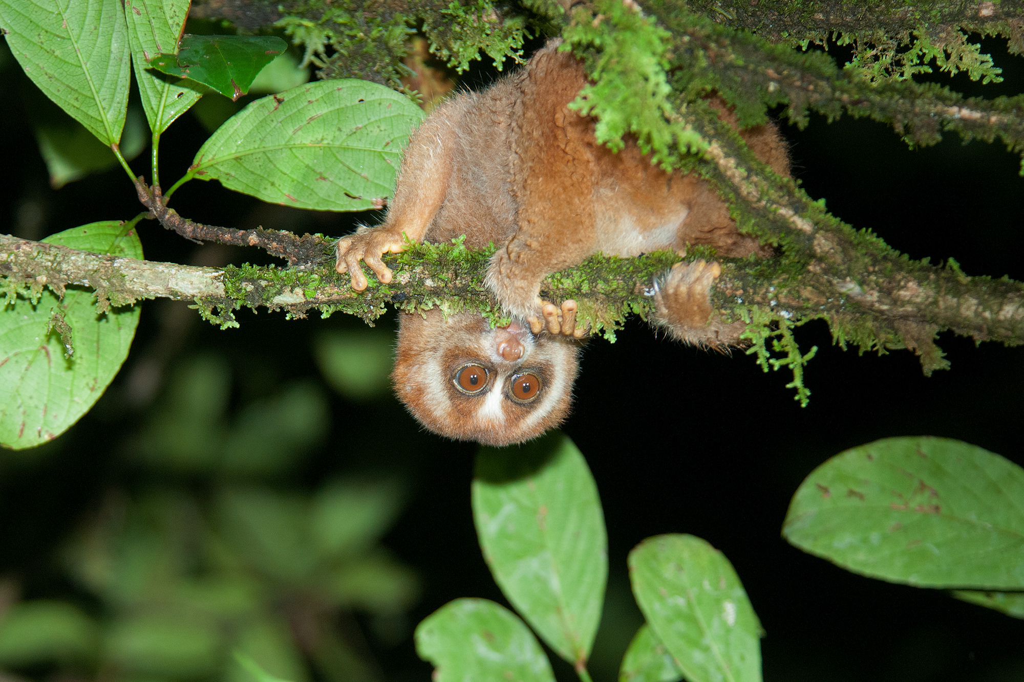 wildlife watching in borneo - Philippine slow loris