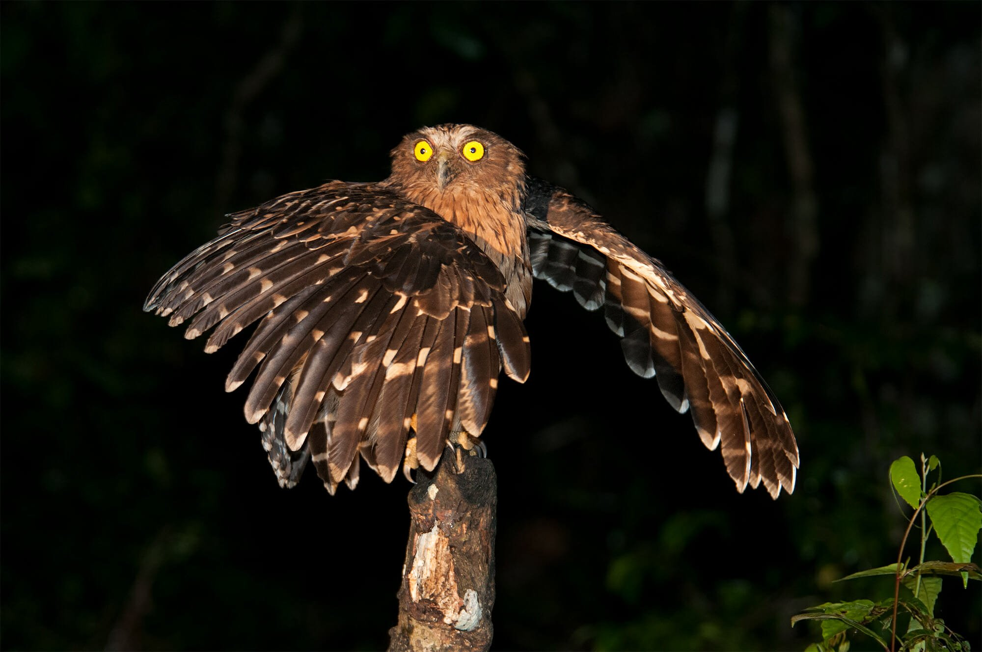 Surprised Buffy fish owl borneo