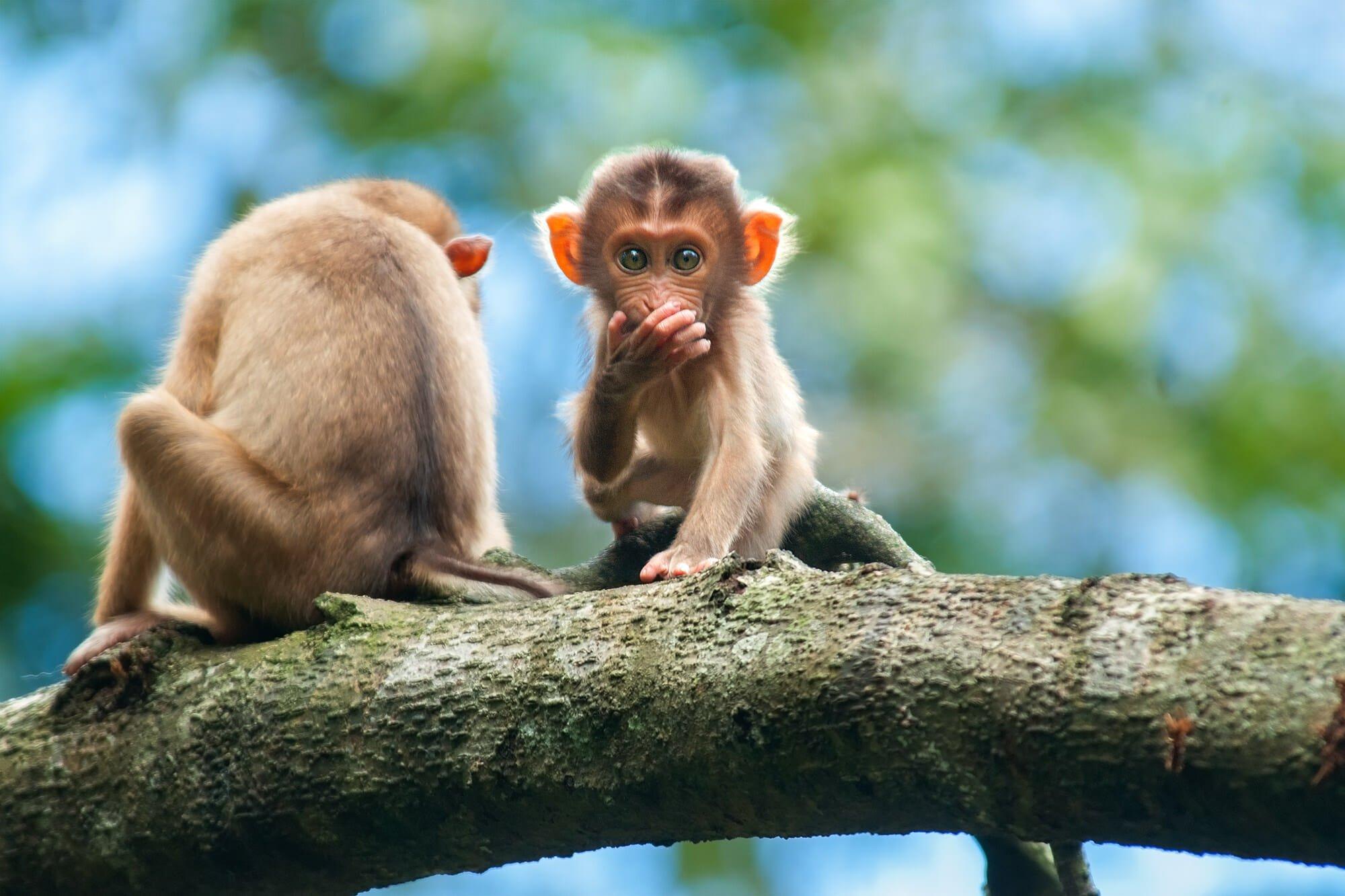 Wildlife of Kinabatangan river - Young Pig-tailed macaques