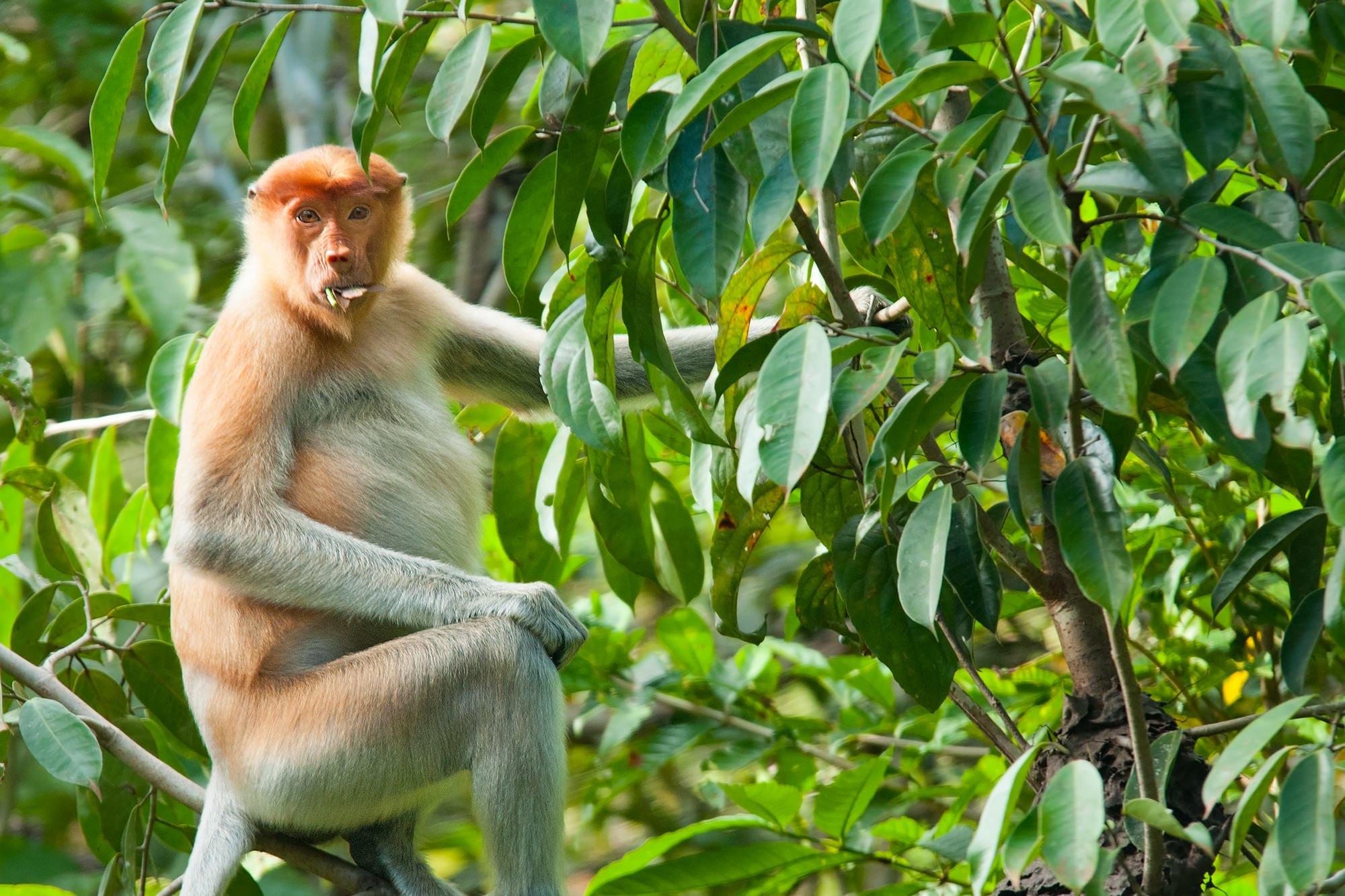 Wildlife of Kinabatangan river - Female Proboscis monkey