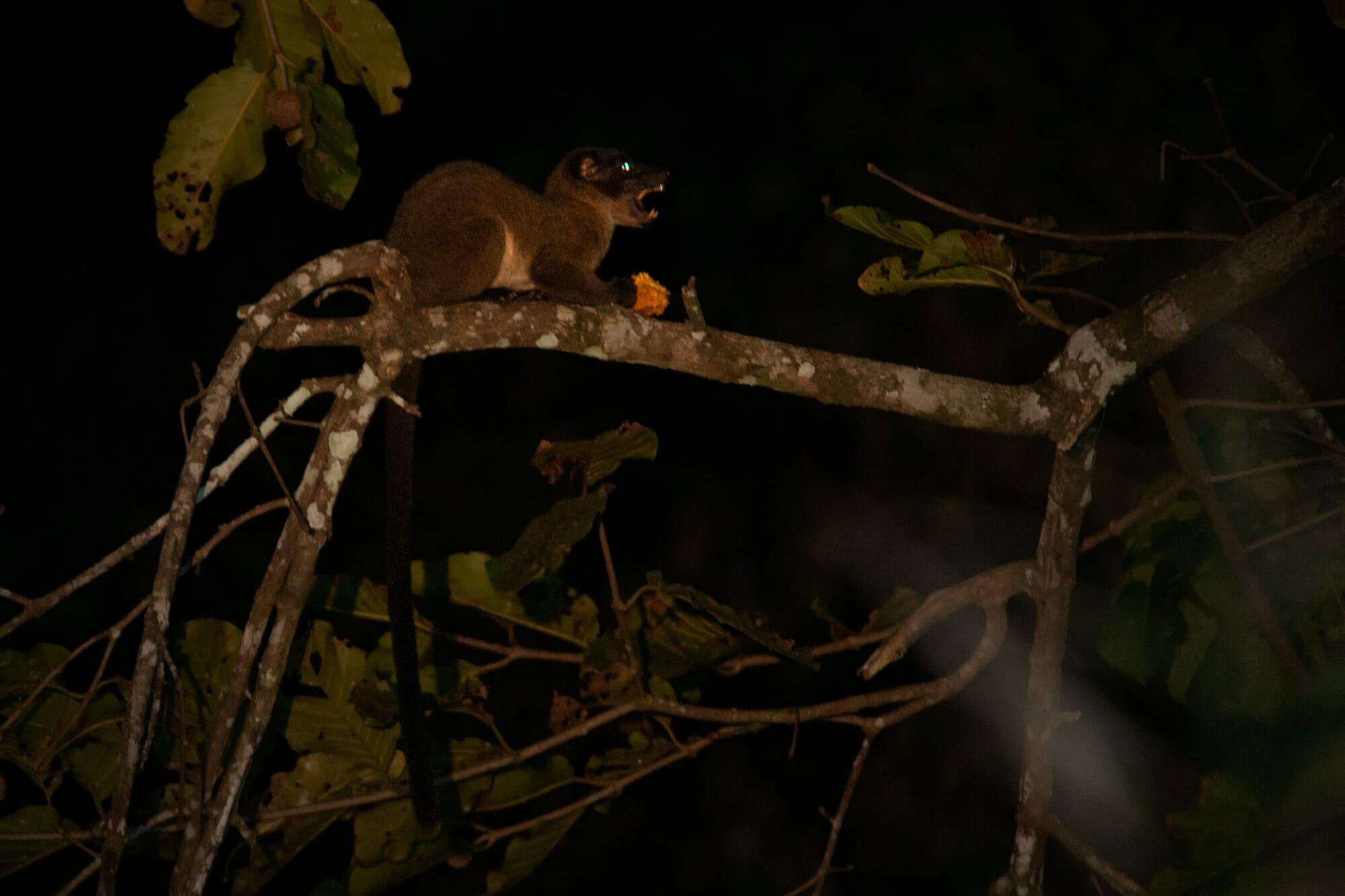 Wildlife of Kinabatangan river - Three-striped palm civet