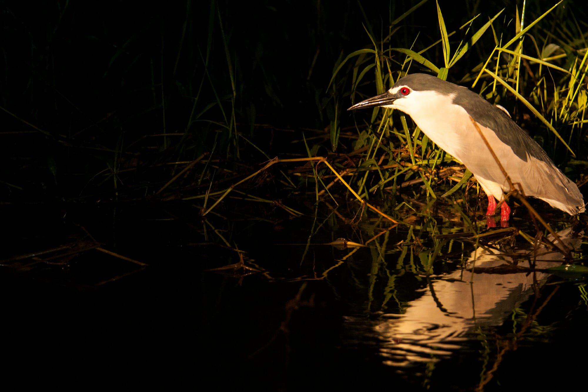 Night heron on Kinabatangan River