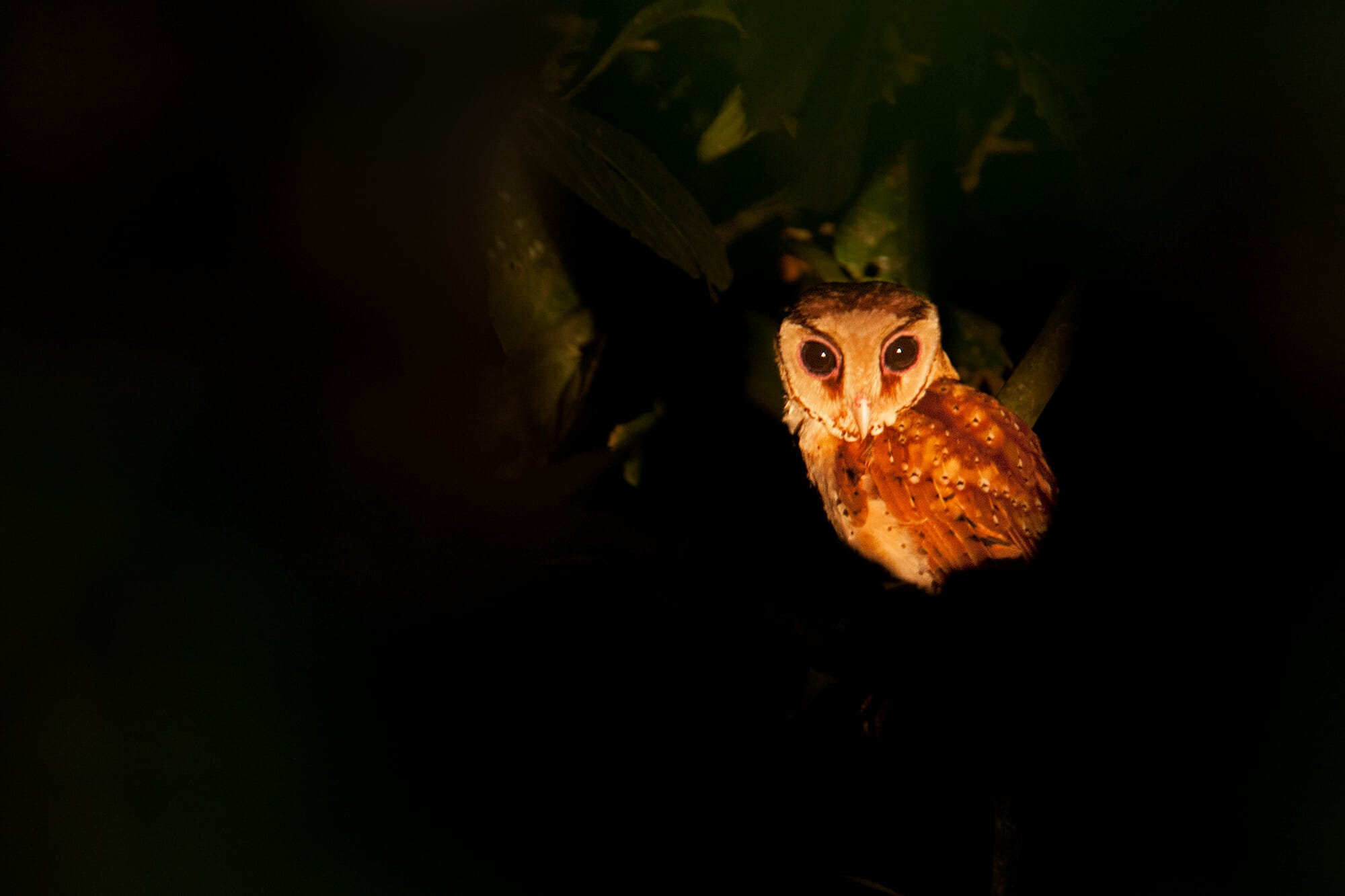 Oriental Bay owl on Kinabatangan River