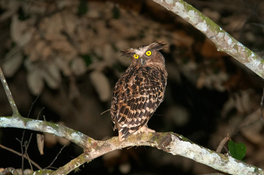 Buffy fish owl on Kinabatangan