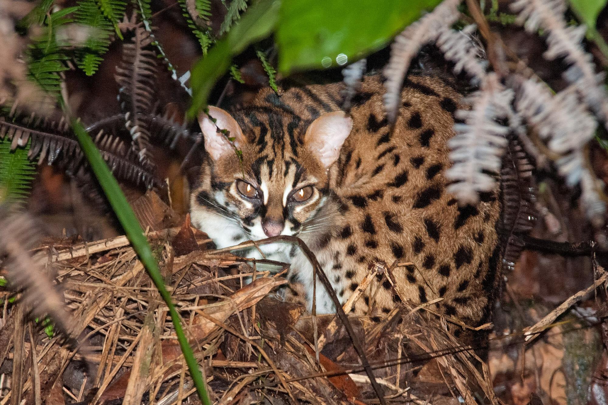 Leopard cat in Deramakot Forest Reserve, Borneo