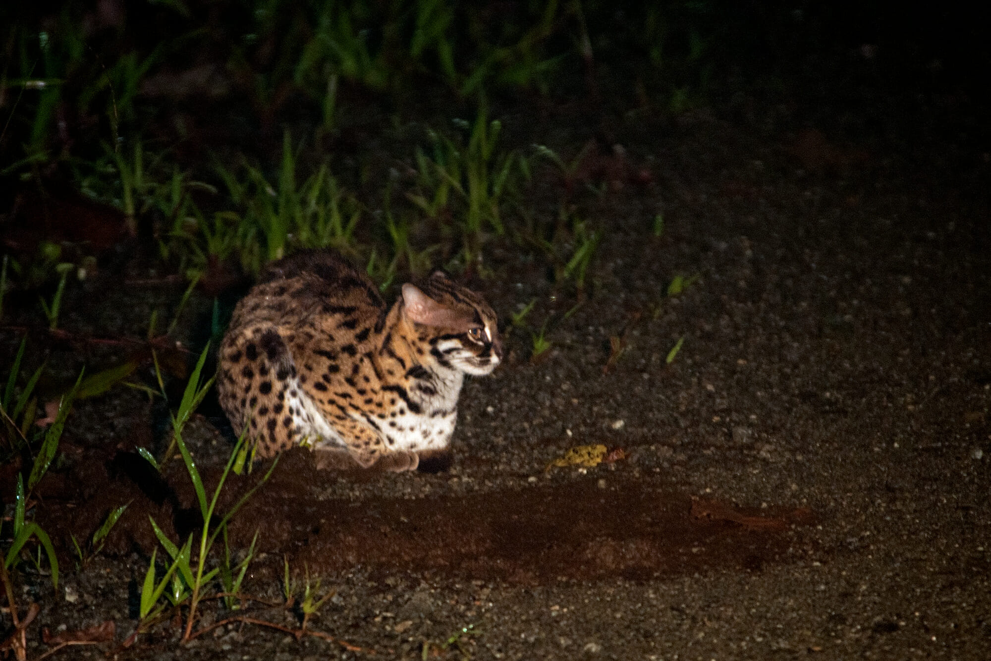 Wildlife of Deramakot - Sunda leopard cat