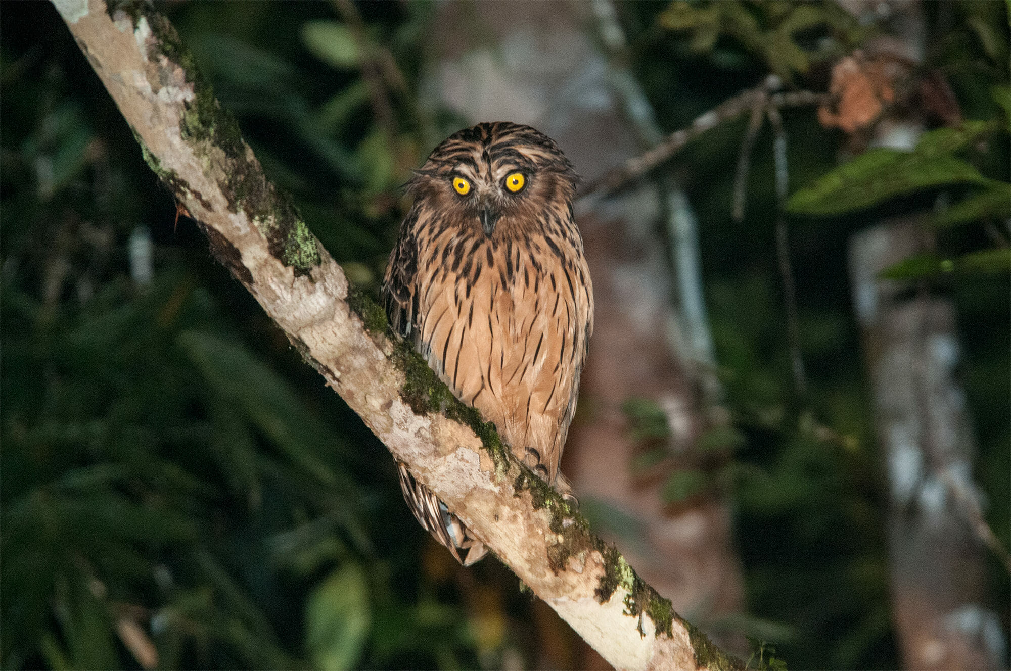 Wildlife of Deramakot Forest Reserve - buffy fish owl