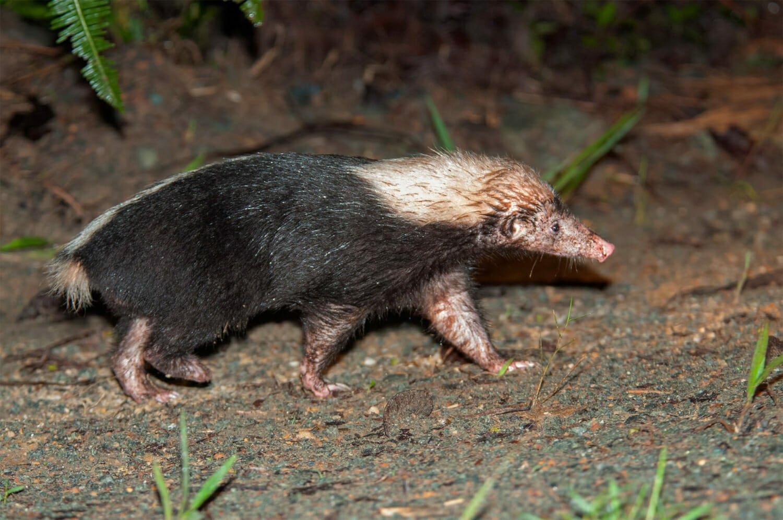 Sunda skunk in Borneo