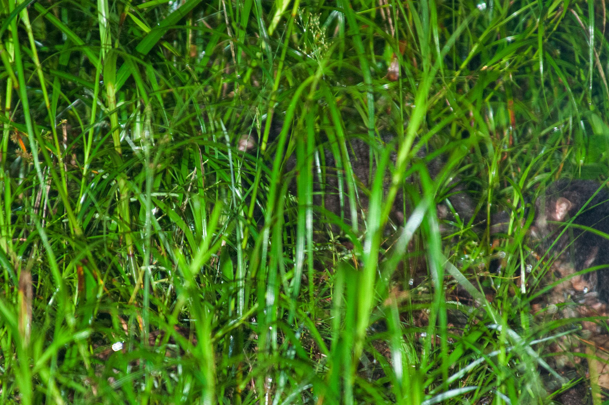 Wildlife of Deramakot - otter civets hiding in the grass
