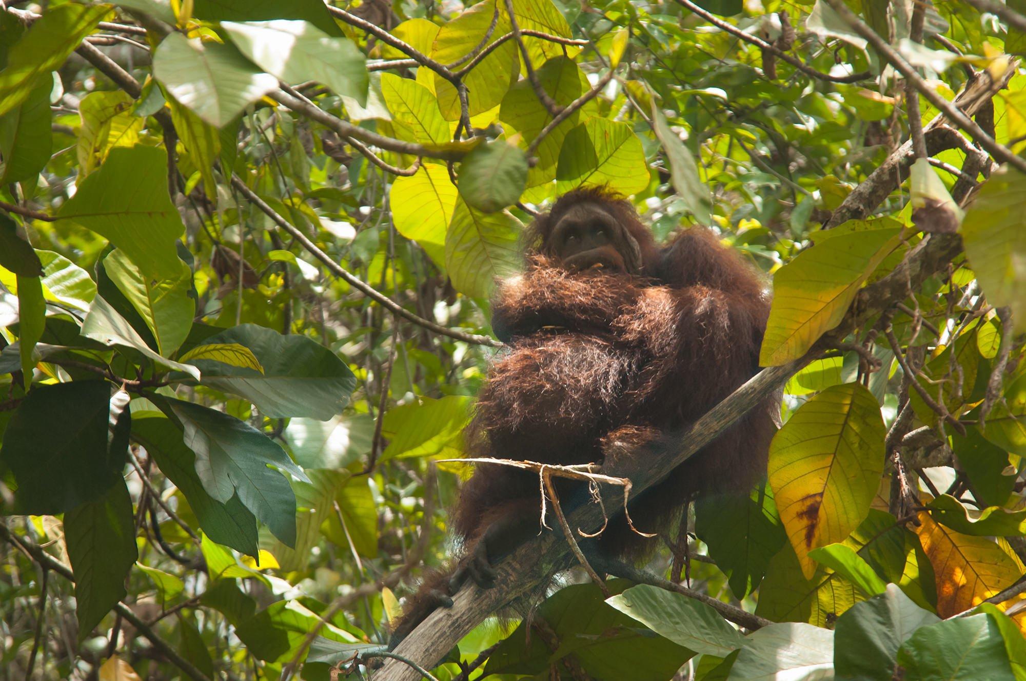 Wildlife of Deramakot - Orangutan